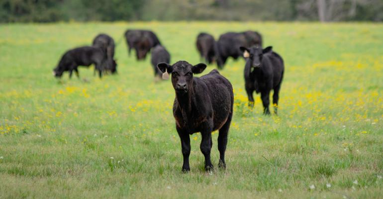young-angus-calf-GettyImages-1215876242.jpg