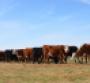 Body condition score cows