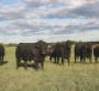 Simm Angus bulls with cows