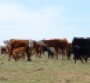 cow-calf herd