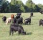 stocker cattel grazing