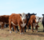 Hereford cow-calf herd