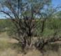 Mesquite Meets Its Match