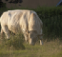Pyrethrins safe for use in breeding bulls