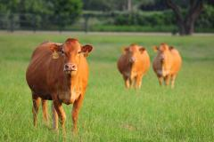 Cows at HeartBrand Beef