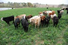 cover srop calves.jpg