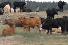 stocker-cattle-Pagosacattle015.jpg