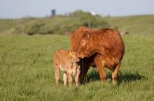 Boehringer-Calf-cow-grazing-field-vaccine-colostrum