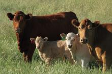 Identify and Treat Cooperia in Calves to Improve Performance
