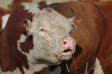 bull soundness exam