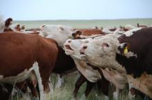 Bellowing Hereford bulls