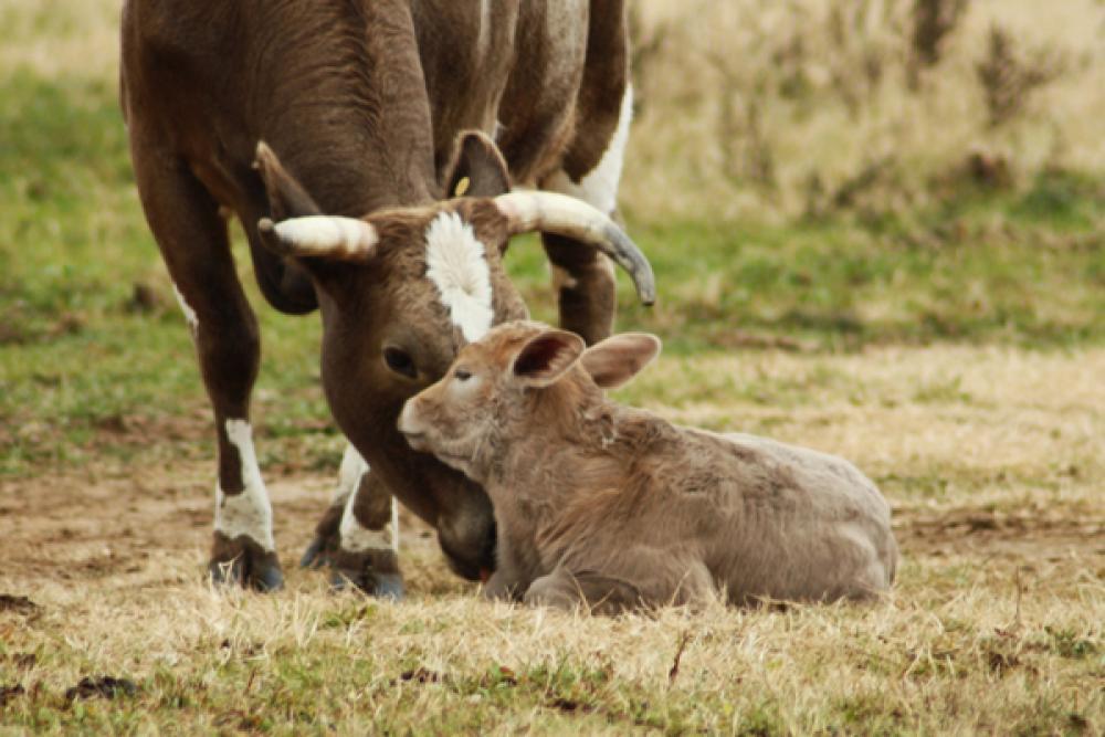 80+ Photos Of Our Favorite Calves & Cowboys