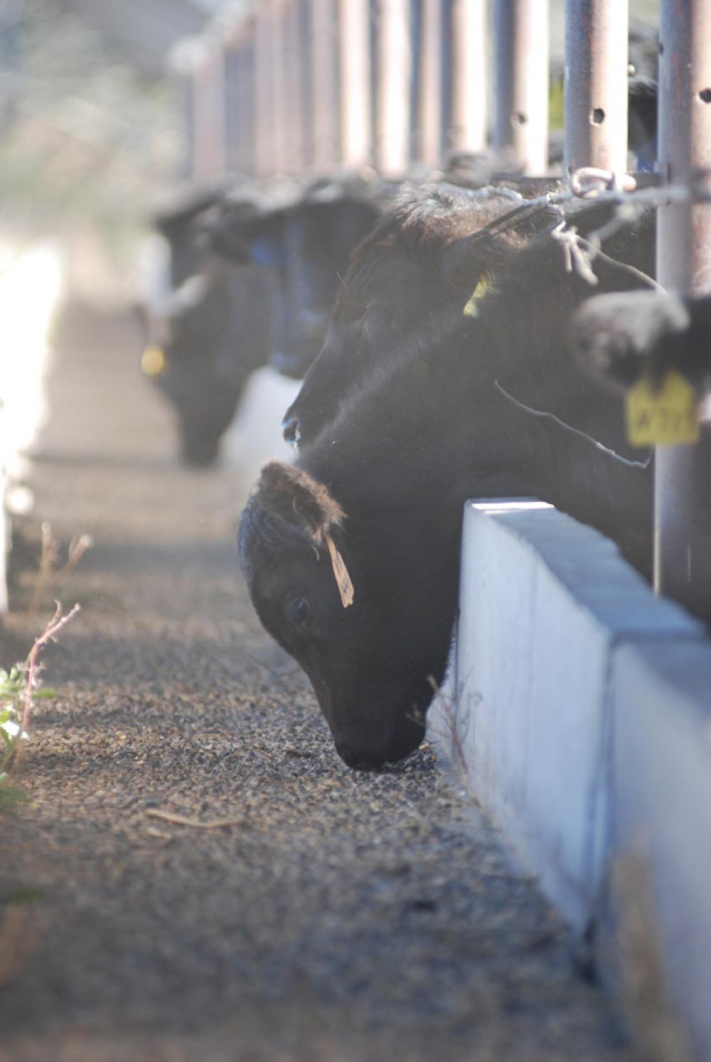 Should You Background Your Weaned Calves?