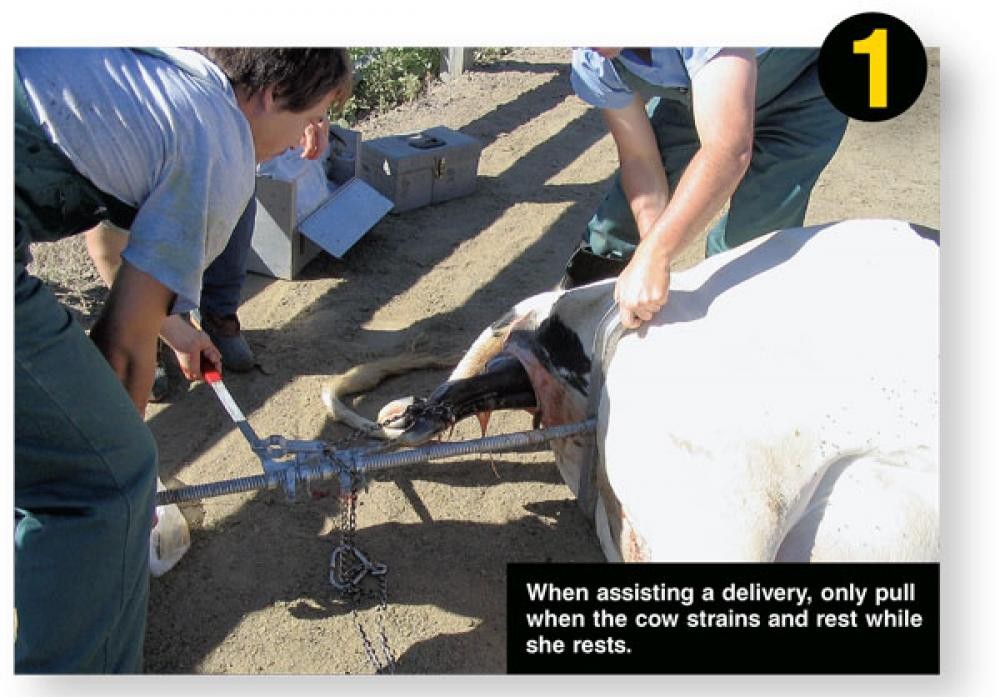 how to use a calf puller during calving