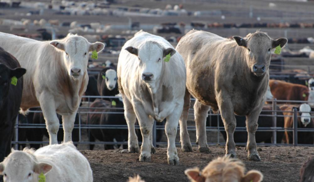 What Do Feedyards Look For In Feeder Cattle?