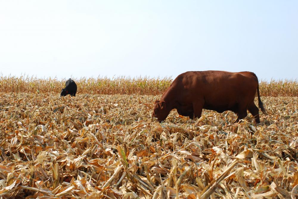 grazing cornstalks as cattle feed