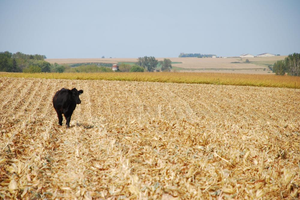 management tips for corn stalks as cattle feed