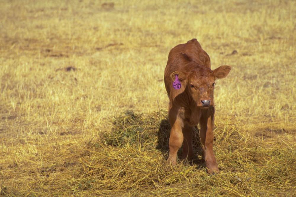 cattle disease coccidiosis in calves