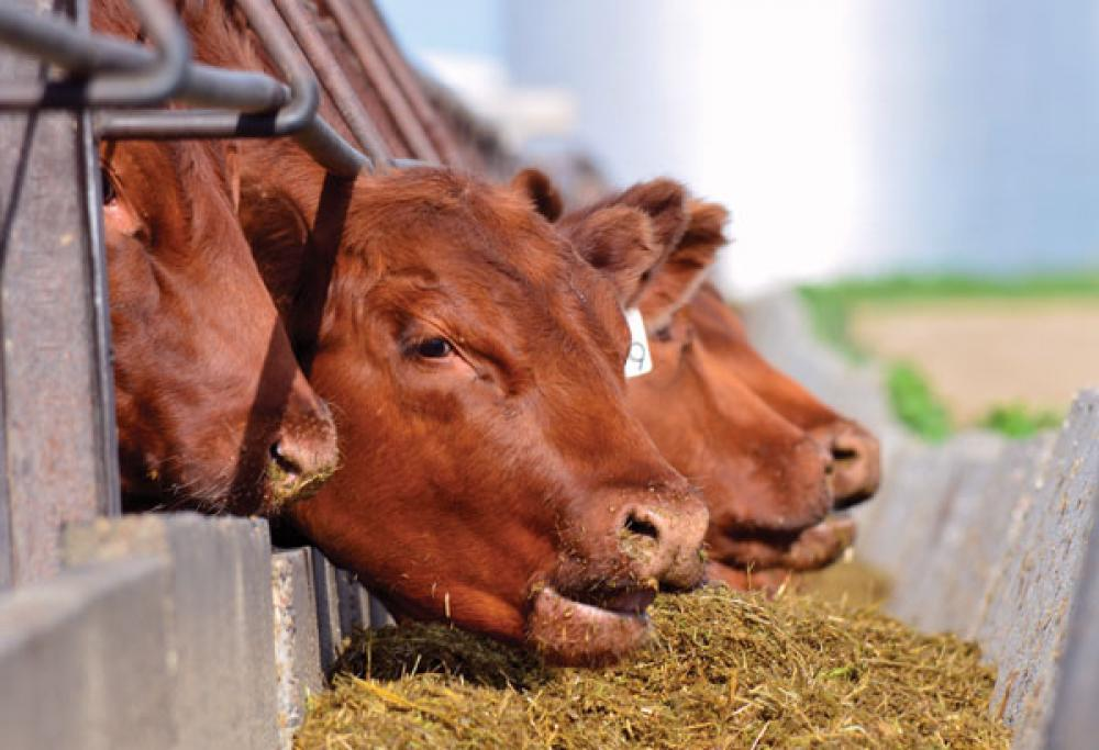 beef cattle Feed Composition tables