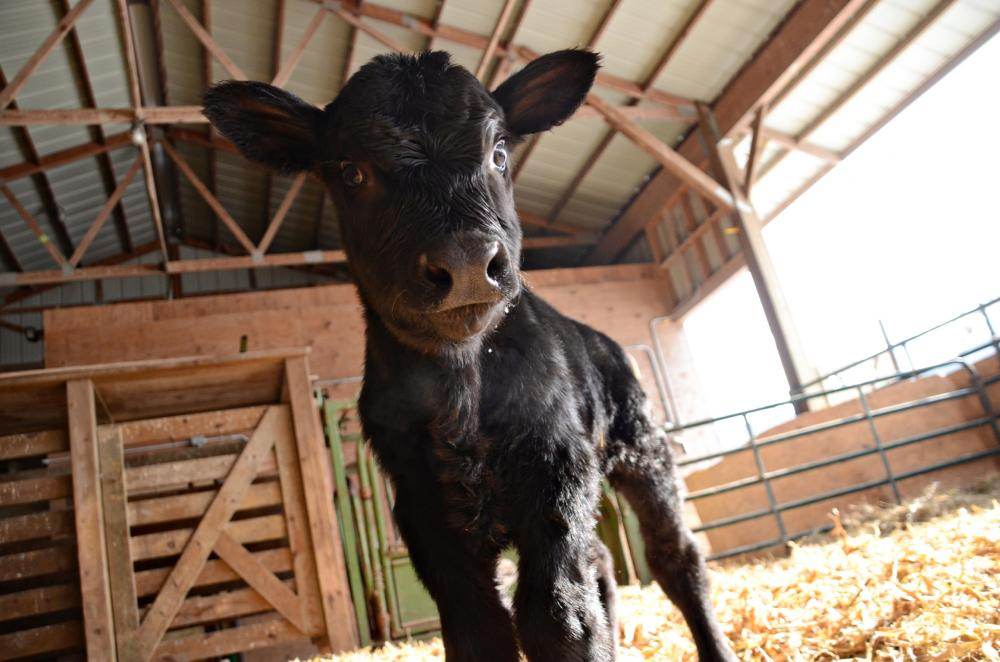 new baby calf is highlight of spring