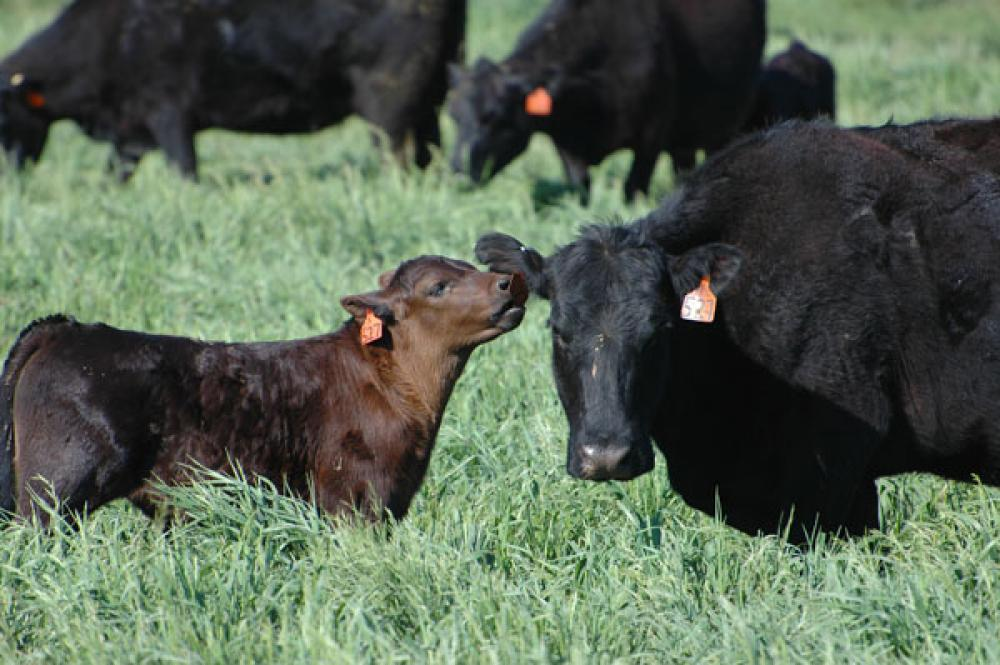 animal welfare  cowcalf health are major beef industry issues