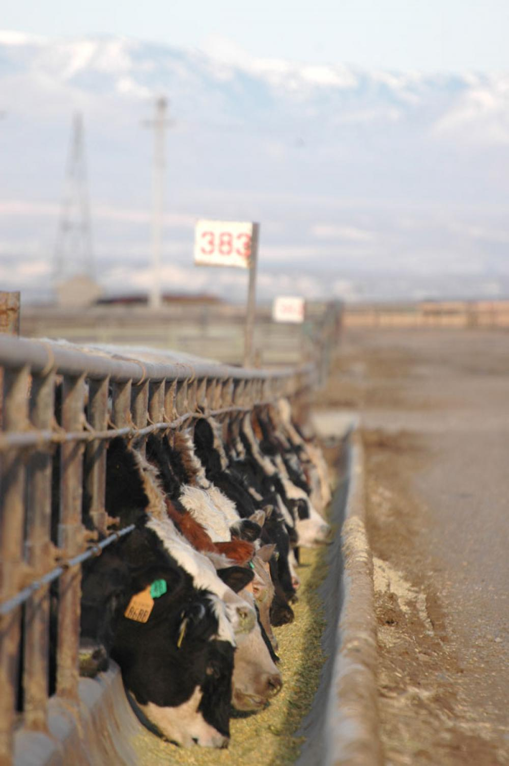 Tyson Says It Won't Buy Zilmax-Fed Cattle After Sept. 6