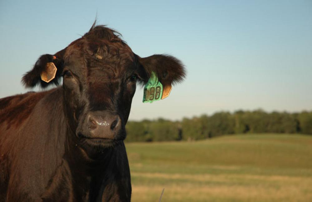 9 tips for culling cows