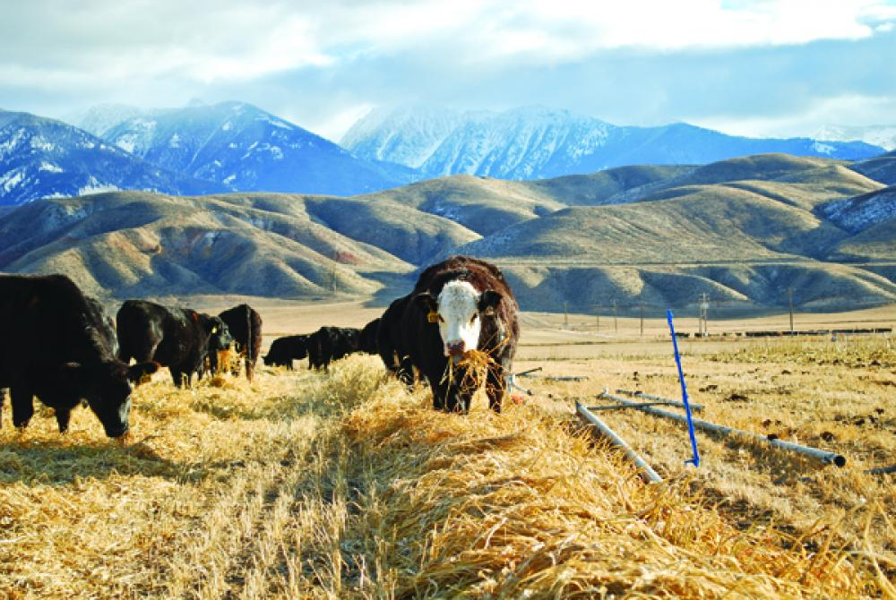 Tips For Extending Fall And Winter Grazing