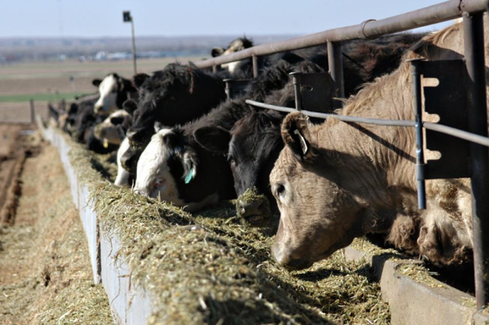 The top 10 cattle feeding states represent 86 of the total onfeed population