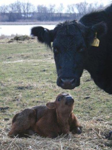 Baby Calves by Kylee Kohls