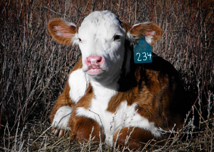 Baby Hereford by Stephanie Russell