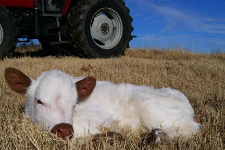 Baby Noble by B Mag BW Cattle