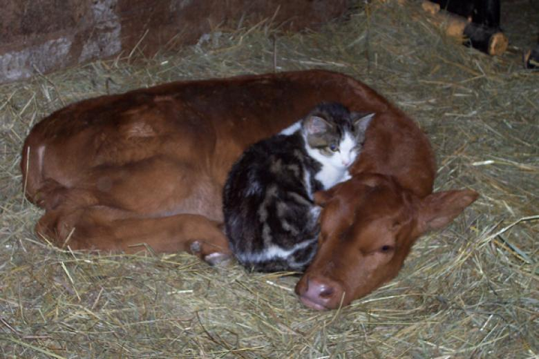 Calf and Kitten by Penny Woodruff