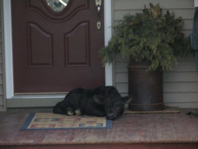 Calf on Porch by Steve Haley