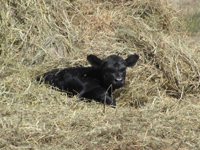 Laying in the Hay by Sarah Kuschel