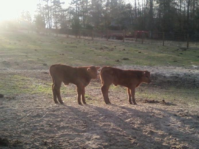 Limousin Brothers by Brenda Irwin
