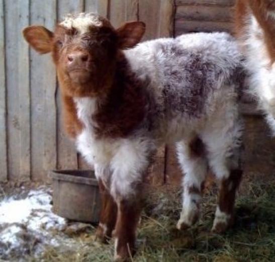 Little Calf by Kim Hill