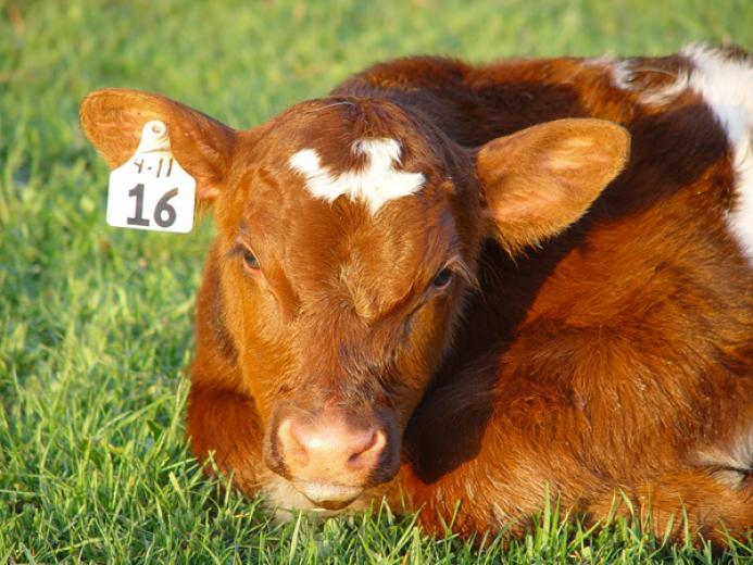 Paint Valley Shorthorn Baby by Lee Miller