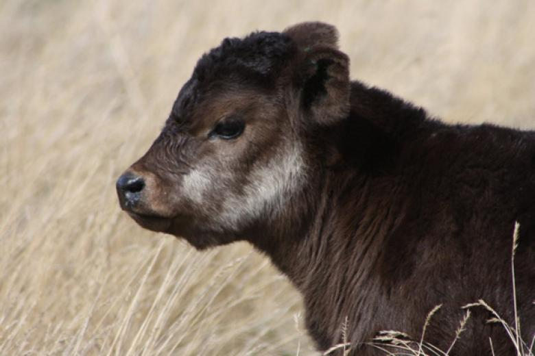 Profiling Calf by Amy Kelley