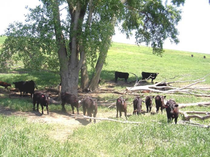 Spring Calves by Joe Lally