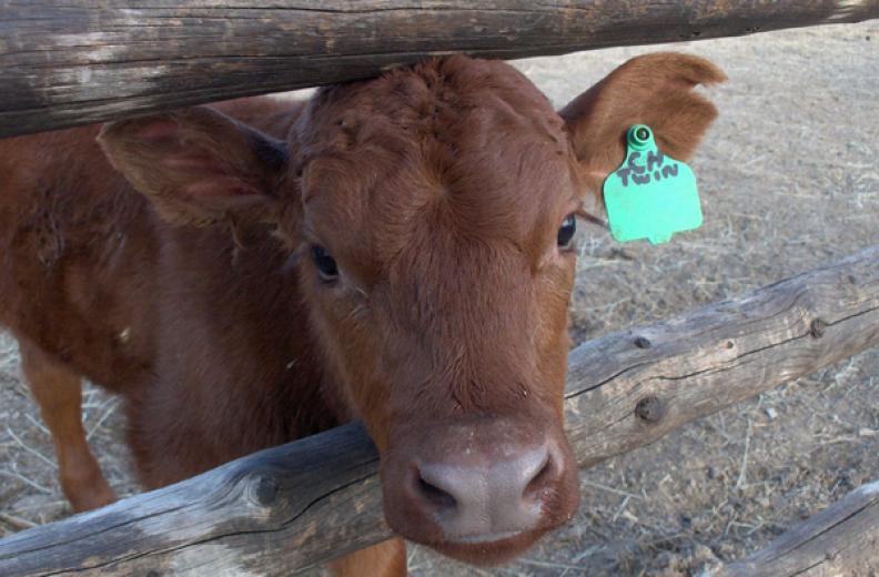 Twin Baby Calf by Mindy Kirkpatrick