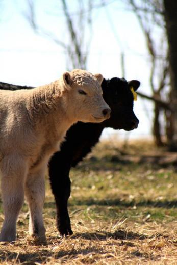 Baby Calves by Calli Pritchard