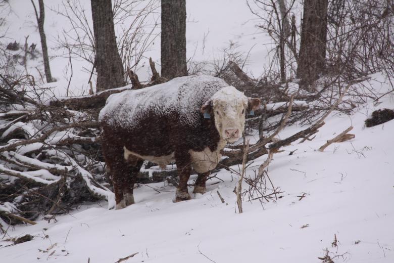 Blistery Bull