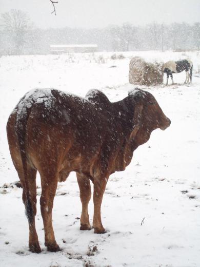 Brahma In The Snow