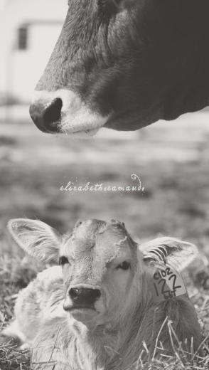 Braunvieh Baby by Elizabeth Seamands