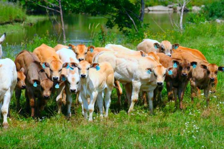 Calves At Creek by Trish Skelton