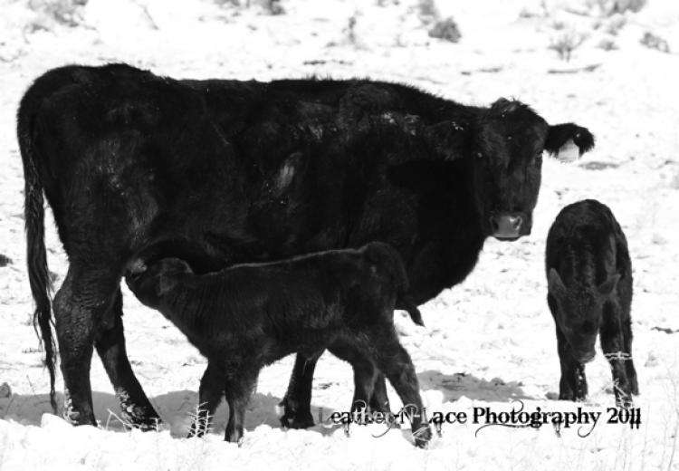 Calving In Wyoming by Lacee Sims