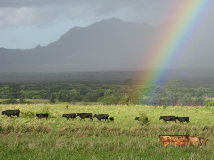 Cows And Hawaiian Rainbow Linda Liese