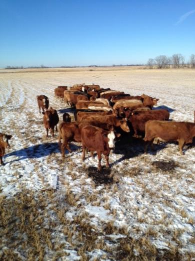 Canadian Cattle Feeding