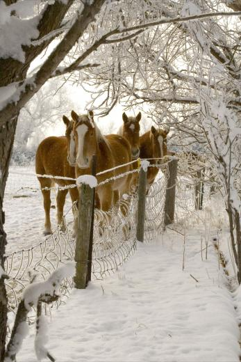 Frosty Horses